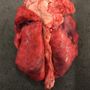 Goat Lungs